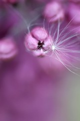 Dust of Lilac (manu4971) Tags: flowers france flower macro nature fleur up closeup fleurs canon garden 350d petals flora europe close purple violet jardin sigma topc100 105 topv100 flore angers végétation anjou pétales sigma105mm platinumpeaceaward