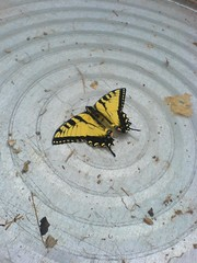 Butterfly friend in the hoophouse