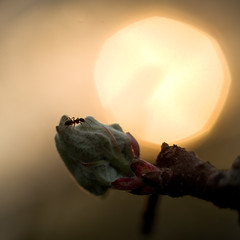 Working late... (Torsten P) Tags: light sun tree apple evening ant working blad late myra solnedgng