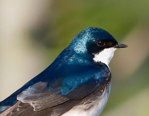 Tree Swallow Closeup
