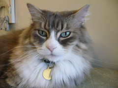 Mister Cat (knightbefore_99) Tags: blue white cute cat grey big cool eyes furry chat pretty vet gato mister cc1000