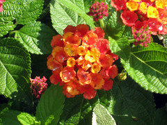 red orange and yellow lantana