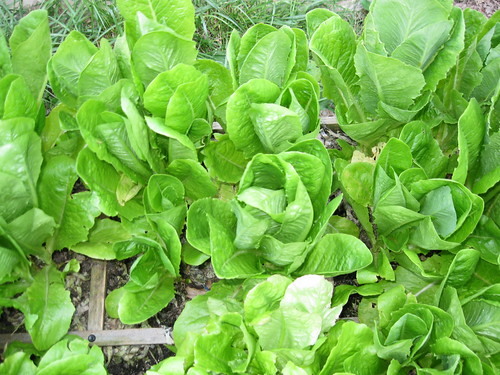 Romaine and Buttercrunch