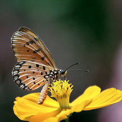 For a beautiful week ahead (AgniMax) Tags: india nature butterfly kerala yellowflower mothernature naturephotography singleflower yellowbutterfly butterflyonaflower 70300mmisusm naturepictures naturewallpaper canoneos400d happyweekahead singlebutterfly