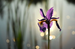 it's...showtime (anniedaisybaby) Tags: iris light sun reflection nature bulb pond purple bokeh manitoba watergarden wetlands bloom interlake iridaceae theunforgettablepictures magicunicornverybest thanksshastadaisy