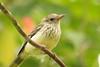 são tomé oriole - papa-figo (juvenil) (pilrita) Tags: fbwnewbird fbwadded papafigo sãotoméoriole orioluscrassirostris