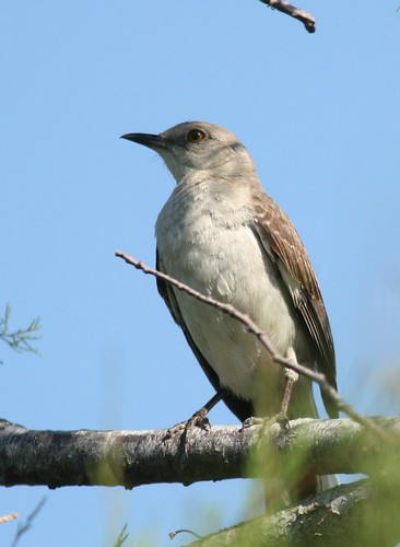 Northern Mockingbird - 5/29/2009