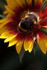 Jardin des Plantes-75 (MissDogo) Tags: paris macro fleur parc insectes jardindesplantes bourdon proxyphoto hym jardinalpin hyménoptères hymnoptres