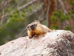 Marmot (Violettwilight) Tags: marmot tuolumnemeadows