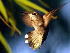 Hummingbird - Good To The Last Drop (joecrowaz) Tags: arizona macro nature birds inflight olympus noflash explore nectar hummingbirds e500 naturesfinest goodtothelastdrop bej platinumphoto theperfectphotographer vosplusbellesphotos 200wlight