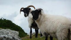 The Connemara, Ireland (St James Gate) Tags: ireland wild summer irish galway sheep connemara irlande