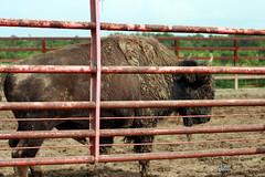 buffalo farms