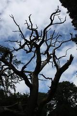 The blasted oak