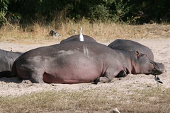 Sleeping hyppos with guest (Lumi3471) Tags: sleeping botswana chobe gamedrive hyppo okawango