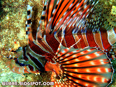 ปลาสิงห์โต