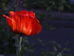 poppy (wemale) Tags: flowers garden olympus adapter om 43rd e500 43adapter omlenses rumariuw