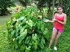 These are not supposed to get this big... (tropicalgardener1) Tags: forest puerto rico carite 22209