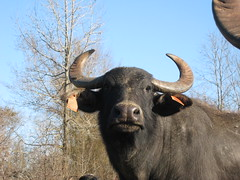 Whatcha lookin' at? (WaterBuffalo) Tags: waterbuffalo buffalosteak rainforestanimals animalsmating waterbuffalopicture waterbuffaloforsale