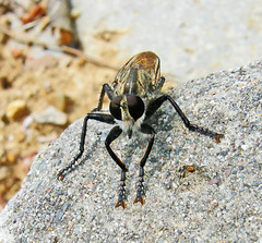sun tanning (icemanigation) Tags: macro nature rock bug insect fly nikon coolpix cpp2 macromarvels excapturemacro fantasticinsect beautifulmonsters icemanigation