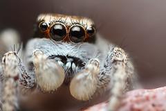 Jumping Spider Closeup (Mundo Poco) Tags: macro canon spider arachnid jumpingspider salticidae mpe65mm eos450d habronattus rebelxsi