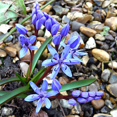 siberian squill in the japanese garden (gorgeoux) Tags: park wood uk flowers blue green london beauty leaves gardens garden dark japanese petals spring cloudy pebbles queen marys siberian scilla squared squill regents siberica