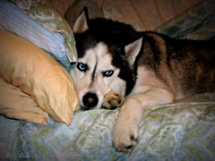 the charm maneuver (GooseGoddessS) Tags: blue dog silly cute puppy eyes husky canine charm charming siberian sneaky maneouver storybookwinner