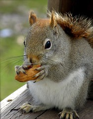 Andy is Nuts About Nuts! (Lori Garske) Tags: nature squirrel rodant wildlife pa peanut erie backyardwildlife impressedbeauty pennsylvaniawildlife vanagram