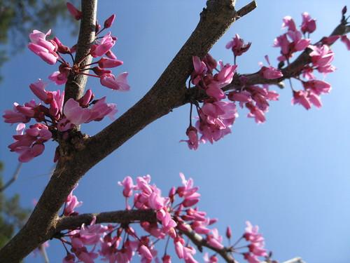 Spring redbud blooms