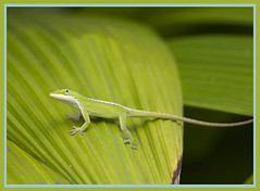 Green Anole (Anolis carolinensis) (lindilindi) Tags: green ga hawaii leaf lizard explore hawaiian tropical anole gecko allrightsreserved copyrighted anolis naturesfinest carolinensis explored hawaiiset melindapodor animalsset vosplusbellesphotos gettyinvited bigislandset