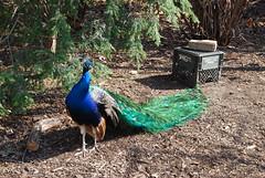 Roaming Peacock (BrotherShine) Tags: animals zoo louisvillezoo