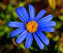 Blue (Ilias Orfanos) Tags: blue flower greece tiny breathtaking patras abigfave aplusphoto theunforgettablepictures breathtakinggoldaward mygearandme mygearandmepremium mygearandmebronze mygearandmesilver mygearandmegold mygearandmeplatinum mygearandmediamond