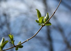 First Day of Spring (JLPoole) Tags: sun tree nature spring woods branch kentucky bud otw bej mycameraneverlies
