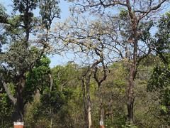 Konda Tangedu (Telugu: కొండ తంగేడు) by dinesh_valke