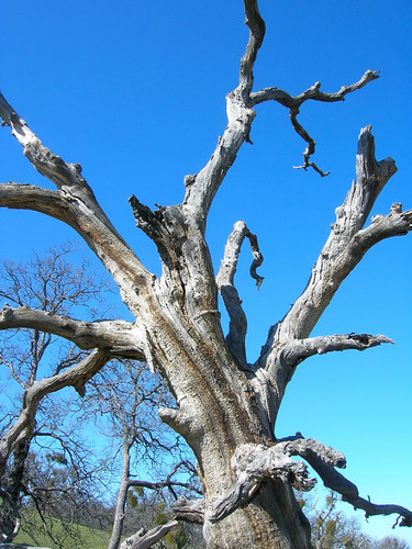 Close-up of the majestic oak snag