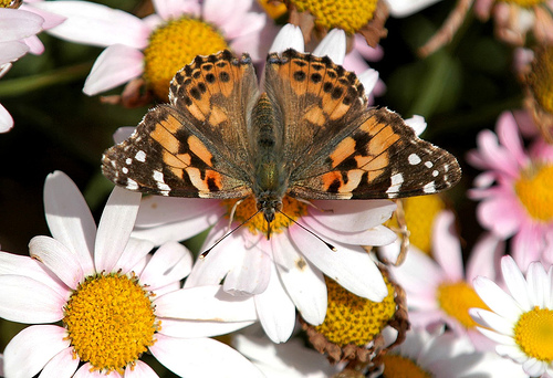 painted lady1