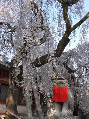 09-04-05【桜】@氷室神社-06