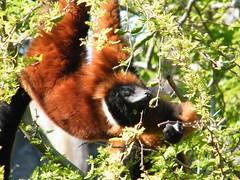 dhh bu (dmathew1) Tags: tampa florida lowryparkzoo babywhitetiger babymandrill babyorangatun babycolobusmonkey babyguenon