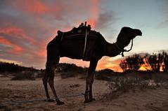 Up for the sunrise! Bedouin camp on the edge of the Sahara (near Douz), Tunisia (iancowe) Tags: morning camp sahara sunrise village desert tunisia tent camel berber camels bedouin douz saharan