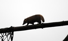 Racoon on Beam (mj.jones1990) Tags: animal silhouette photography zoo fingers shutter balance raccoon amateur