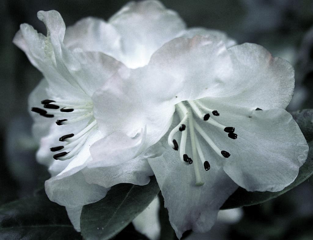 Fine Rhododendron