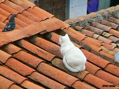 Gato en Cuzco (Sipalky Medina) Tags: red ladrillo bird cuzco cat arquitectura dove cusco edificio gatos diagonal felinos animales gatitos tejado mascotas techo gatito lineas gatas airelibre lneas acecho 9vidas