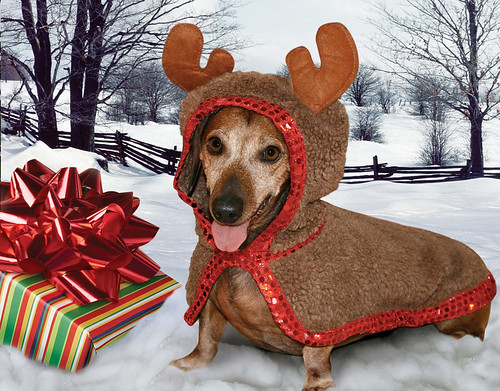 "Skippy, Mr. December 2009 ""Rescue Dachshund"""