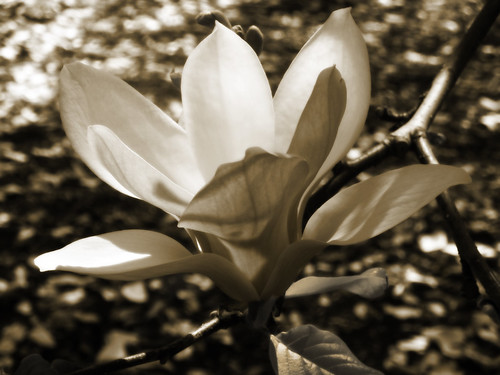 magnolia with gavinfree toned