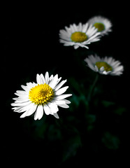 Out of the dark... (haikus*) Tags: light daisies spring citrit fbdg