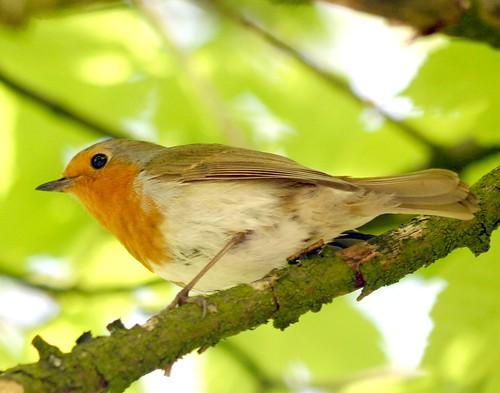 European Robin by you.
