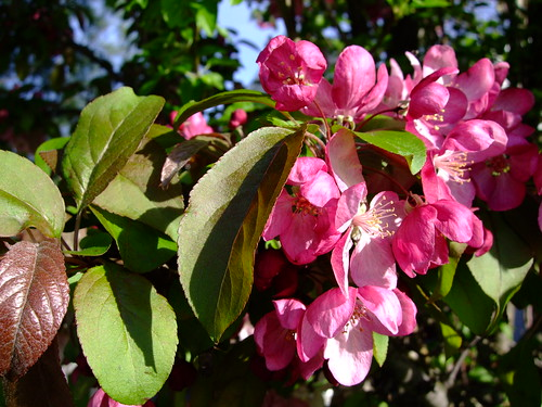 la flora rosada