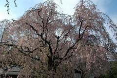 Nijo Castle (Samsul Adam) Tags: castle japan kyoto nijo