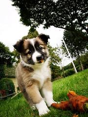 Carrot-eating puppy (Henning Horn) Tags: dog cute grass puppy denmark sheepdog hund carrot danmark icelandic gren hvalp
