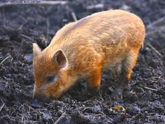 Anybody got a tissue??? (law_keven) Tags: animal animals pig furry dirty piglet furryfriday sniffles boar muddy wildboar snuffle susscrofa explore500 babywildboar anybodygotanytissueslol