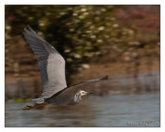 White Faced Heron (Peter Ede) Tags: heron birds wildlife waterbirds whitefacedheron muttoncove